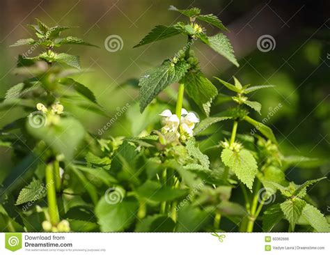 bright green foliage plants dead nettle stock photo image 60362666