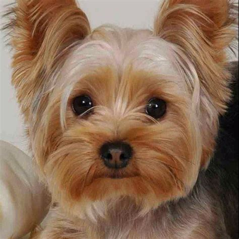 sneezing yorkie 720 best images about yorkies on