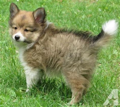 pomeranian bichon mix for sale pomeranian sheltie mix puppies for sale images