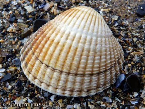 Kerang Laut jenis jenis kerang dan gambarnya paling lengkap nama