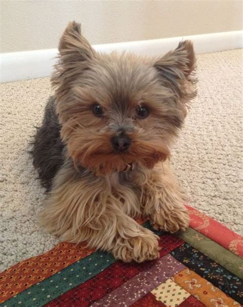 what kind of cut to give a yorkie poo 108 best images about yorkie haircuts on pinterest