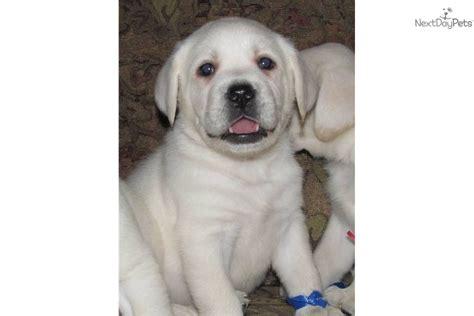 white polar lab puppies meet a labrador retriever puppy for sale for 1 200 quality polar