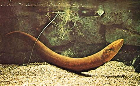 Ikan Lele Sale Ikan Lele Salai 10 interesting electric eel facts my interesting facts