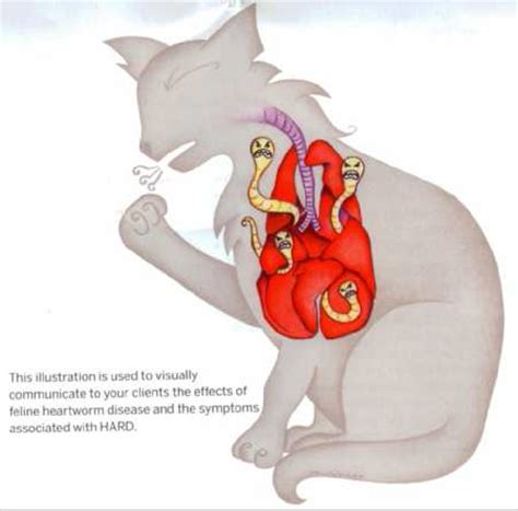heartworm symptoms heartworms in cats symptoms cats