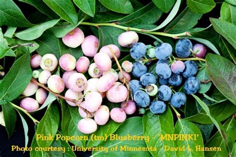 pink popcorn blueberry vaccinium