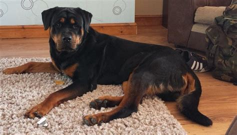 american rottweiler breeders pin american rottweiler puppies page 2 1 on