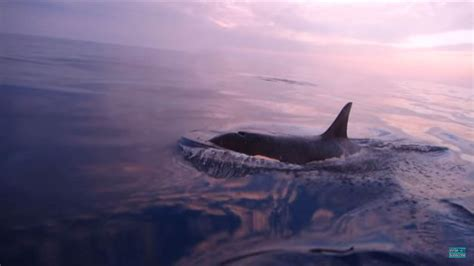 three orcas chase fishing boat at sea killer whales chase boat in san diego and provide some