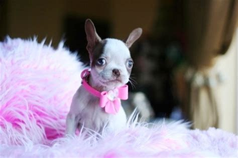 teacup boston terrier puppies for sale pin teacup boston terrier puppies for sale in florida on