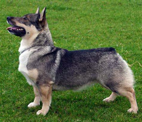 swedish breeds swedish vallhund