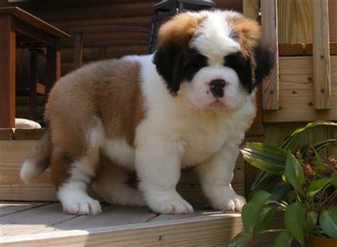 st bernard puppy for sale dogs for sale in petsale inc