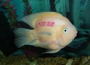 The Stupidest Common Freshwater Aquarium Fish   Blue Planet Aquarium
