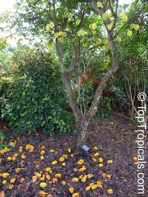 carambola fruit tree averrhoa carambola carambola starfruit five finger