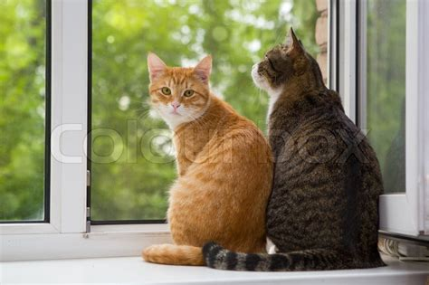 and grey cat sitting on the window sill stock photo