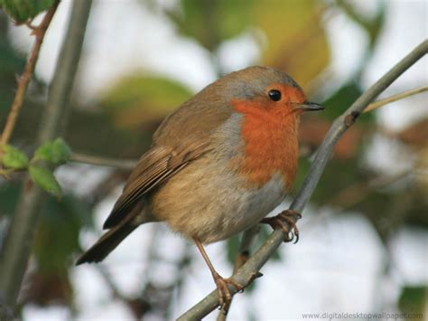 1000 images about robin red breast on pinterest robins