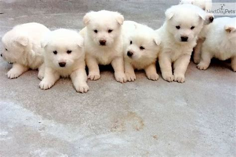 jindo puppies jindo puppy for sale near philadelphia pennsylvania 458bb557 b031
