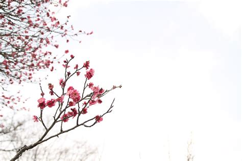 Japanese Cherry Blossom Tree free photo japanese peace park march free image on