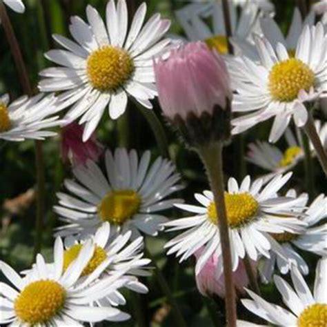 pratolina fiore fiore pratolina consegna fiori a domicilio