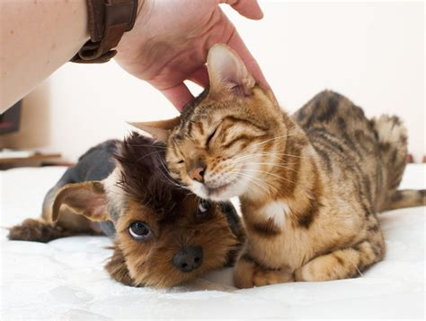 how to get cats and dogs to get along why do cats and dogs a scratch