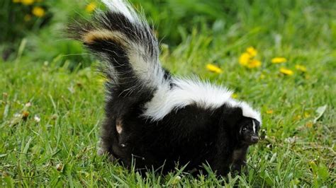 How To Get Rid Of Skunk In Backyard by Top 6 Ways To Get Rid Of Skunks In Your Yard Howhunter