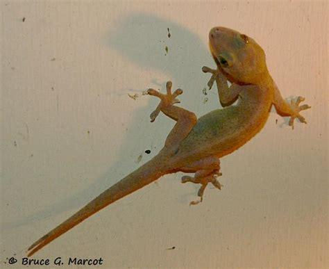 tropical house gecko tropical house gecko 28 images hemidactylus mabouia tropical house gecko discover