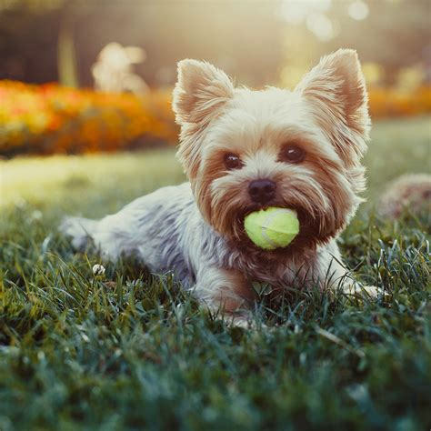 yorkie hind leg problems how do i prevent calcified discs in dogs