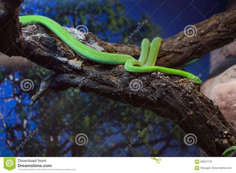 african green african green mamba snake royalty free stock image