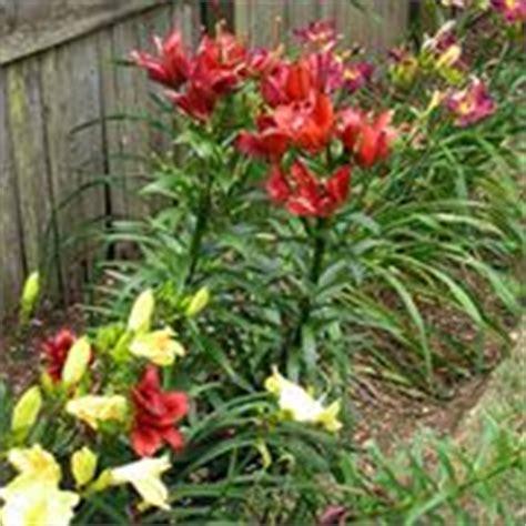 significato fiore lilium significato giglio significato fiori giglio linguaggio