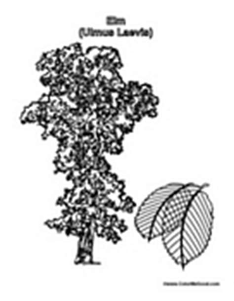 elm tree coloring page tree coloring pages