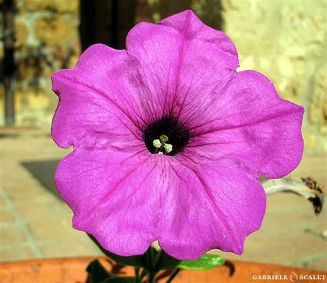 fiori violette foto galleria fotografica di fiori fatta nella val d orcia