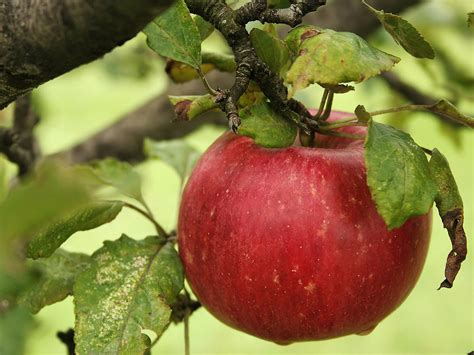 imagenes de manzanas rojas animadas manzana roja related keywords manzana roja long tail
