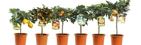 piante limoni in vaso prezzi piante limoni in vaso prezzi affordable albero di limone