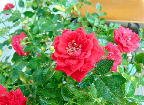 imagenes de flores ornamentales rose planta plantas ornamentales 183 foto gratis en pixabay