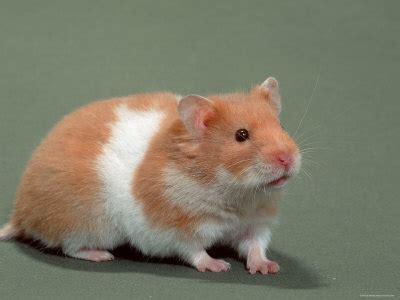 Makanan Hamster Golden Hamster pets planet