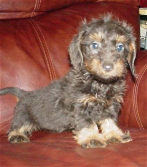 purebred german rottweiler puppies for sale near me dachshund for sale louisiana photo
