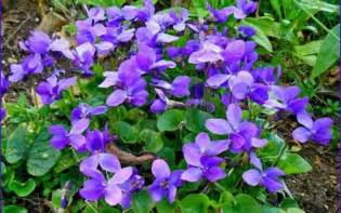maison de la violette toulouse guide tourisme