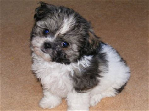 shih tzu chihuahua mix lifespan information about breed shichi chihuahua x shih tzu