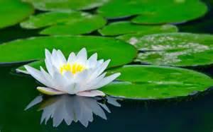 imagenes de rosas sobre agua flores de loto y lirios de agua fotos e im 225 genes en