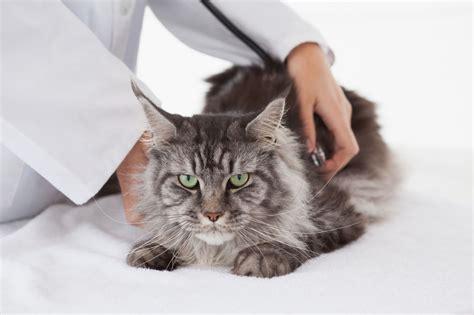 alimentazione maine coon sterilizzazione gatto maine coon amicomainecoon it