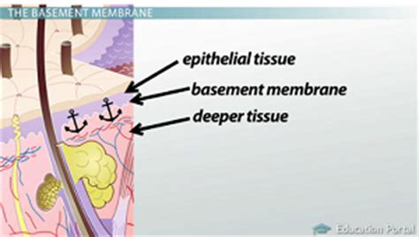 basement membrane epithelium what is epithelial tissue function types structure