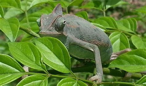 alimentazione camaleonte come allevare un camaleonte in casa idee green