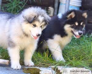 Cute alaskan malamute puppies pictures collections