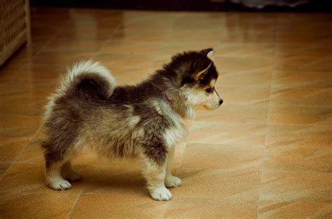 pomeranian husky pups aawww husky pomeranian puppy pictures