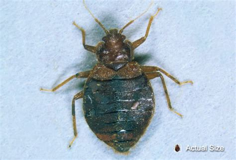 how big can a bed bug get what do bed bugs look like can you see them