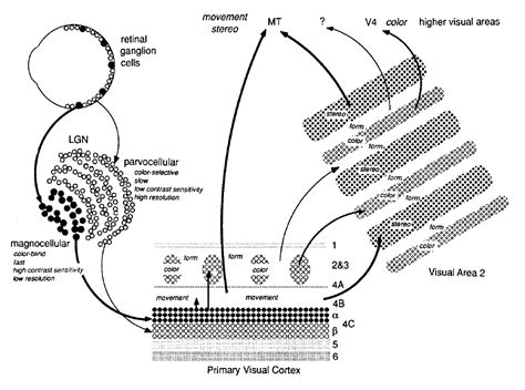 visual cortex diagram foundations of vision 187 chapter 6 the cortical representation