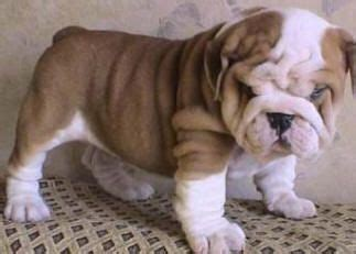 beverly puppies bulldogs bulldogs and on