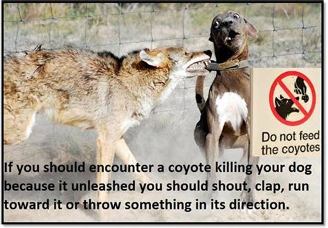 will a coyote attack a we should arrange a human interaction t for coyote attack victims