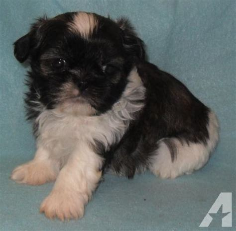 brindle and white shih tzu brindle white akc shih tzu reed for sale in seattle washington classified