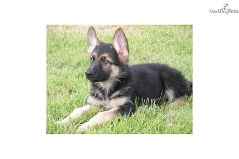 german shepherd puppies for sale in pittsburgh akc german shepherd puppies black brown german