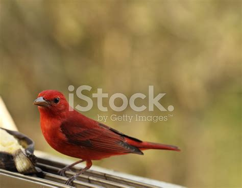 itp glossary bird dogging inside the pylon hepatic tanager bird posing stock photos freeimages com