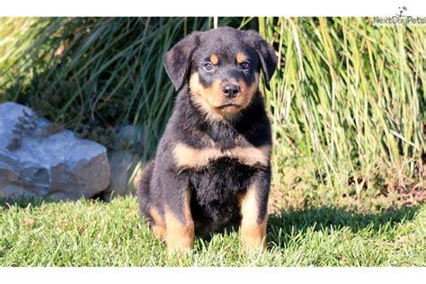 rottweiler teddy teddy rottweiler puppy for sale near lancaster pennsylvania 6344af2d c9c1